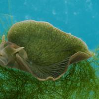 Sea slug found to turn itself into plant-like creature by eating algae