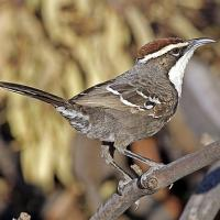 Birds can rearrange sounds to create meanings