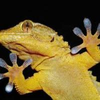 Geckos are 'size limit' for sticking to walls - Oh No! Then what about Spider man?