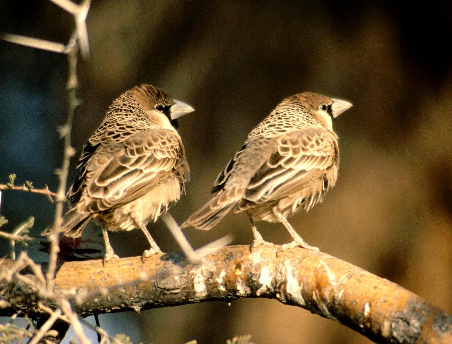 Sociable Weavers Nest