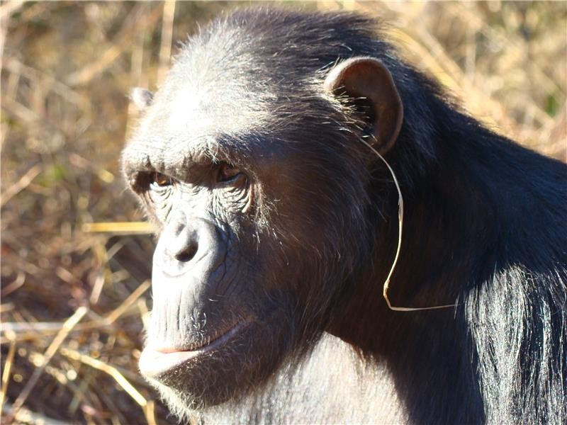 Chimp culture reaches new heights with