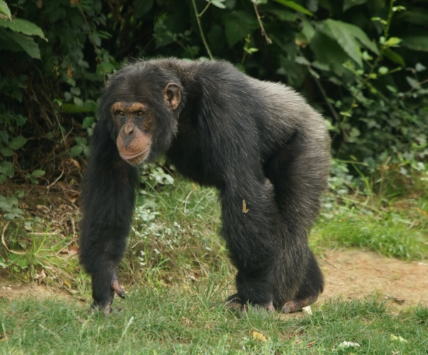 Chimpanzees kill each other to eliminate rivals