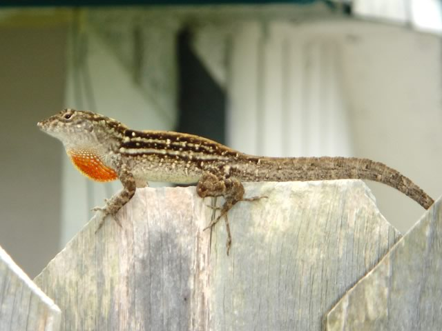 Scientists see lizards evolving in just 15 years