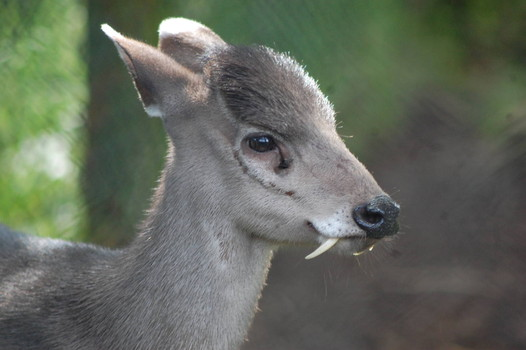 Just in time for Halloween: Mysterious fanged deer reappears