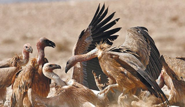 Scientists found : Vultures evolved an extreme gut to cope with disgusting dietary habits