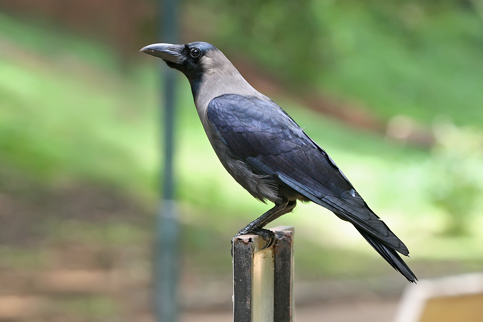 Crows are Much Smarter Than Previously Thought: Study