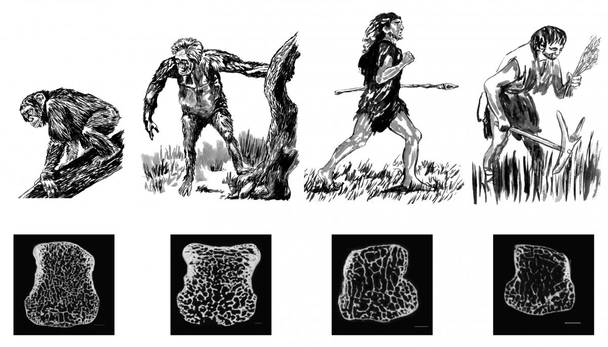 Light human skeleton may have come after innovation of agriculture