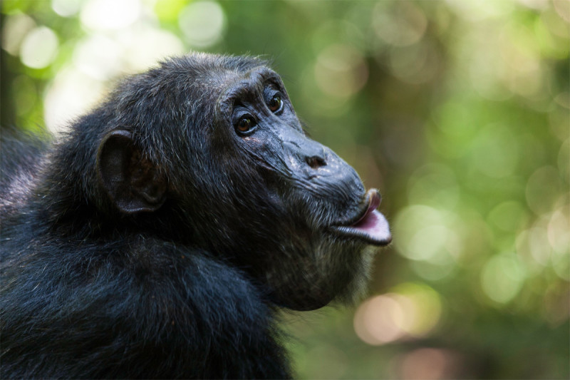 After merger, chimpanzees learned new grunt for 'apple'