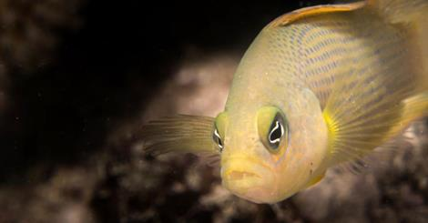 Little fish found to kill small ones by posing as family