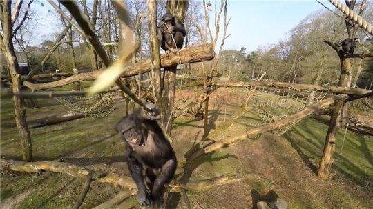 Chimp attacks drone with stick, wins