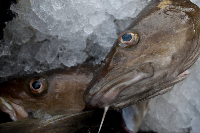 Warming Helped Decimate New England Cod Stocks